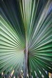 Φοίνικας χυμού φοινικόδεντρου Στοκ Φωτογραφία
