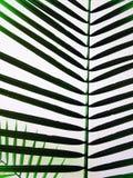 φοίνικας Στοκ φωτογραφία με δικαίωμα ελεύθερης χρήσης