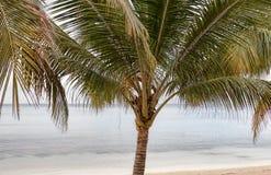 Φοίνικας Arecaceae στην παραλία από τον ωκεανό Στοκ Φωτογραφία