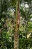 Φοίνικας Carpoxykum ή φοίνικας Aneityum, macrospermum Carpoxylon, φοίνικας στοκ εικόνες