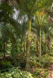 Φοίνικας Carpoxykum ή φοίνικας Aneityum, macrospermum Carpoxylon, φοίνικας στοκ φωτογραφίες με δικαίωμα ελεύθερης χρήσης