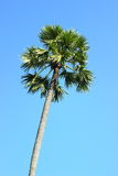 Φοίνικας Palmyra, φοίνικας χυμού φοινικόδεντρου, φοίνικας ζάχαρης, καμποτζιανός φοίνικας Στοκ φωτογραφίες με δικαίωμα ελεύθερης χρήσης