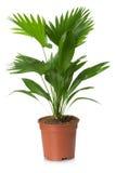 Φοίνικας Rotundifolia Livistona flowerpot στοκ εικόνα
