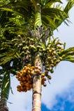 Φοίνικας Sylvatica Vea (Areca catechu) Στοκ φωτογραφίες με δικαίωμα ελεύθερης χρήσης