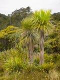 Φοίνικες λάχανων, ο εγγενής Μπους, Νέα Ζηλανδία Στοκ Εικόνες