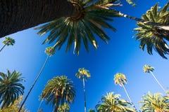 φοίνικες Καλιφόρνιας στοκ εικόνες με δικαίωμα ελεύθερης χρήσης