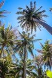 Φοίνικες καρύδων και ο λάμποντας ήλιος, κατώτατη άποψη, στο τροπικό νησί Phangan, Ταϊλάνδη Στοκ Εικόνα