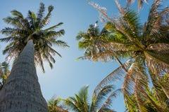 Φοίνικες καρύδων και ο λάμποντας ήλιος, κατώτατη άποψη, στο τροπικό νησί Phangan, Ταϊλάνδη Στοκ εικόνα με δικαίωμα ελεύθερης χρήσης