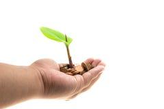 Φοίνικες με μια ανάπτυξη δέντρων από το σωρό των νομισμάτων Στοκ Εικόνες