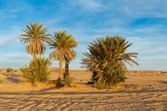 Φοίνικες στην έρημο Σαχάρας Στοκ Εικόνες