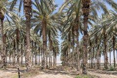 Φοίνικες στην κοιλάδα της Ιορδανίας Στοκ Φωτογραφία