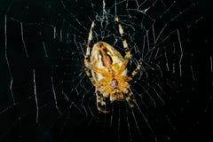 φοβερή υψηλή αράχνη εικόνα&si Στοκ εικόνες με δικαίωμα ελεύθερης χρήσης
