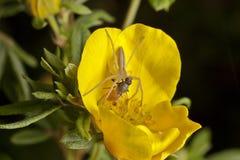 φονική αράχνη μυγών Στοκ φωτογραφία με δικαίωμα ελεύθερης χρήσης