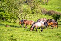Φοράδες και foals σε ένα βουλγαρικό λιβάδι Μαΐου στοκ εικόνα με δικαίωμα ελεύθερης χρήσης