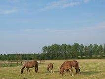 Φοράδες και Foals Στοκ Εικόνες