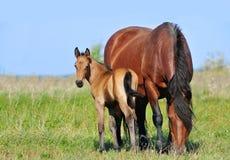 Φοράδα και foal σχεδίων στο θερινό λιβάδι Στοκ φωτογραφία με δικαίωμα ελεύθερης χρήσης