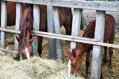 Φοράδα και foal της που τρώνε τη χλόη πίσω από τον παλαιό ξύλινο φράκτη Στοκ εικόνες με δικαίωμα ελεύθερης χρήσης