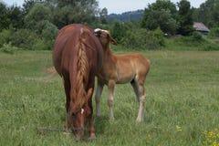 Φοράδα και foal Στοκ Φωτογραφία