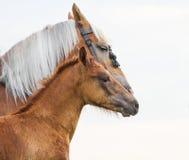 Φοράδα και foal Στοκ φωτογραφίες με δικαίωμα ελεύθερης χρήσης