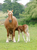 Φοράδα και foal Στοκ Εικόνες