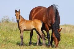 Φοράδα και foal Στοκ Φωτογραφίες