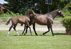 Φοράδα με foal στο πόδι Στοκ Φωτογραφία