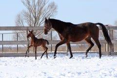 Φοράδα με foal Στοκ Φωτογραφίες