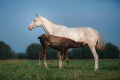 Φοράδα με foal Στοκ εικόνες με δικαίωμα ελεύθερης χρήσης