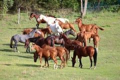 Φοράδες και foals που βόσκουν την πράσινη χλόη στο καλοκαίρι λιβαδιών στοκ εικόνες