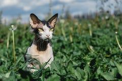 Φορέστε τη γάτα βουρτσών Sphynx το σκηνικό της φύσης στοκ εικόνες με δικαίωμα ελεύθερης χρήσης