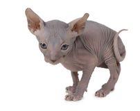 Φορέστε τη γάτα γατακιών Sphinx Στοκ φωτογραφία με δικαίωμα ελεύθερης χρήσης