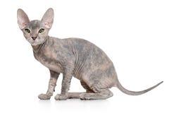 Φορέστε το γατάκι Sphynx στοκ εικόνες