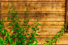 Φορεμένος ξύλινος τοίχος με μερικούς νεαρούς βλαστούς πράσινων εγκαταστάσεων στοκ φωτογραφία