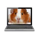 Φορητός προσωπικός υπολογιστής με το ινδικό χοιρίδιο στην οθόνη Στοκ Φωτογραφία