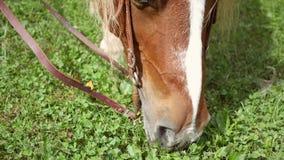 Φορητός πυροβολισμός του πεινασμένου αλόγου που τρώει τη χλόη από το έδαφος τη θερινή ημέρα απόθεμα βίντεο