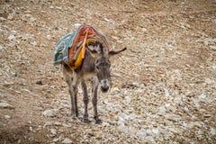 Φορτωμένες στάσεις γαιδάρων στην περιοχή βουνών, Ισραήλ στοκ εικόνα