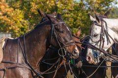 Φορτωμένη άλογα κινηματογράφηση σε πρώτο πλάνο πόλο στοκ εικόνες