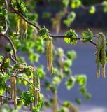 φουντουκιά κλάδων Στοκ φωτογραφία με δικαίωμα ελεύθερης χρήσης