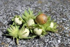 Φουντούκι unripe Στοκ Φωτογραφίες