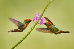 Φουντωτή κοκέτα, ζωηρόχρωμο κολίβριο με τον πορτοκαλή λόφο και περιλαίμιο στον πράσινο και ιώδη βιότοπο λουλουδιών Πουλί που πετά στοκ εικόνες με δικαίωμα ελεύθερης χρήσης