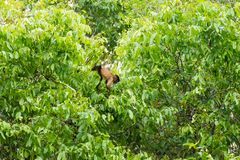 Φουντωτός capuchin πίθηκος στη φύση σε Pantanal, Βραζιλία Στοκ Φωτογραφίες
