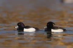 Φουντωτό fuligula Aythya παπιών - ενήλικα αρσενικά που κολυμπούν στο νερό Στοκ φωτογραφία με δικαίωμα ελεύθερης χρήσης