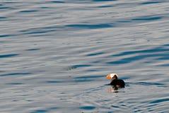 Φουντωτό puffin που κολυμπά στον κόλπο ανακαλύψεων στοκ εικόνα