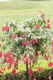 Φούξια δέντρο με τα κόκκινα λουλούδια Στοκ φωτογραφία με δικαίωμα ελεύθερης χρήσης
