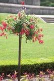 Φούξια δέντρο με τα κόκκινα λουλούδια Στοκ Φωτογραφία