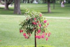Φούξια δέντρο με τα κόκκινα λουλούδια Στοκ Εικόνα