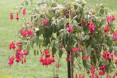 Φούξια δέντρο με τα κόκκινα λουλούδια Στοκ Εικόνες