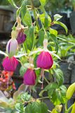 Φούξια λουλούδι Στοκ φωτογραφίες με δικαίωμα ελεύθερης χρήσης
