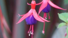 Φούξια λουλούδι Στοκ Εικόνες