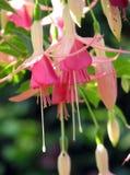 φούξια ροζ Στοκ Φωτογραφίες